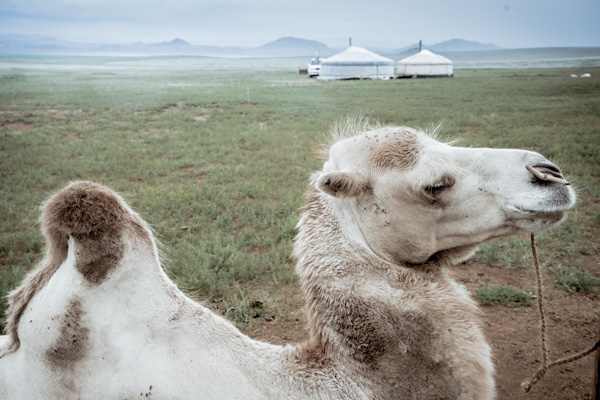 Mongolia Camels with tent